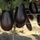 Чем подкормить баклажаны после высадки в теплицу?