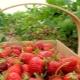 Чем подкормить клубнику после плодоношения и обрезки?