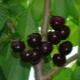 Черешня «Дайбера черная»: описание сорта, посадка и уход