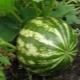 Что нужно знать о выращивании арбуза в открытом грунте?