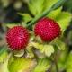 Декоративная земляника: описание видов и выращивание