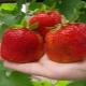 Характеристика и выращивание сорта клубники «Цунаки»