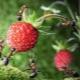 Как избавиться от муравьев на клубнике?