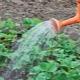 Как правильно поливать клубнику в жару?