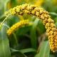 Как растет пшено и чем оно отличается от проса?
