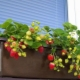 Как выращивать клубнику в домашних условиях круглый год?