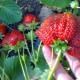 Как вырастить клубнику сорта «Роксана»?