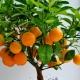 Как вырастить мандарин из косточки в домашних условиях?