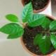 Как вырастить яблоню из семечки в домашних условиях?