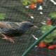Как защитить клубнику от птиц?