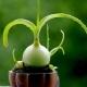 Китайский лук: лечебные свойства и выращивание