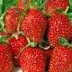 Клубника «Альбион»: описание сорта, выращивание и уход