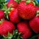 Клубника «Богота»: описание и советы по выращиванию