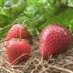 Клубника «Дарселект»: описание сорта и агротехника выращивания