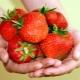 Клубника «Дукат»: описание сорта, выращивание и уход