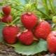 Клубника «Эльвира»: описание сорта и агротехника выращивания