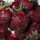 Клубника «Фейерверк»: описание сорта и выращивание