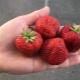 Клубника «Фестивальная»: описание сорта и особенности выращивания