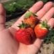 Клубника «Фестивальная ромашка»: характеристика сорта и особенности агротехники