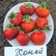 Клубника «Хоней»: описание и агротехника
