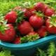 Клубника «Кардинал»: особенности сорта, размножение и правила выращивания