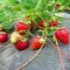 Клубника «Кармен»: описание сорта и выращивание