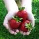 Клубника «Клери»: описание сорта и агротехника выращивания