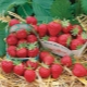 Клубника «Мара де Буа»: характеристика сорта и выращивание