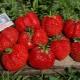Клубника «Мармелада»: описание сорта, выращивание и уход