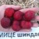 Клубника «Мице Шиндлер»: описание и технология выращивания