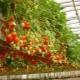 Клубника на гидропонике: описание, плюсы и минусы метода выращивания