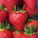 Клубника «Пандора»: описание сорта и рекомендации по выращиванию