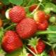 Клубника «Полка» («Полька»): описание сорта, особенности выращивания