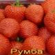 Клубника «Румба»: описание сорта и рекомендации по выращиванию