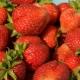 Клубника «Сан Андреас»: характеристика и выращивание сорта