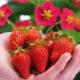 Клубника «Тоскана»: описание сорта и особенности выращивания