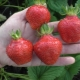 Клубника «Вима Ксима»: описание сорта и выращивание
