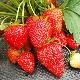 Клубника «Вима Рина»: описание сорта и выращивание