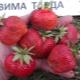 Клубника «Вима Тарда»: описание сорта и агротехника