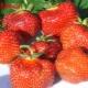 Клубника «Вима Занта»: описание сорта и агротехника