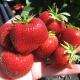Клубника «Зефир»: описание сорта и выращивание