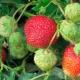 Клубника «Зенга Зенгана»: описание сорта и тонкости выращивания