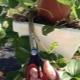 Когда и как нужно обрезать клубнику?