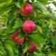 Колоновидная яблоня «Васюган»: описание и выращивание сорта