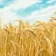 Колосья пшеницы: особенности, строение и отличия от ржи