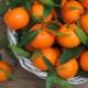 Мандарины: места произрастания, сезон созревания, отличия и критерии выбора
