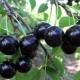 Описание и выращивание сорта вишни «Шоколадница»