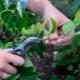 Особенности обрезки колоновидных яблонь