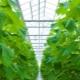Особенности посадки и выращивания огурцов в теплице