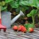 Особенности ухода за клубникой после плодоношения